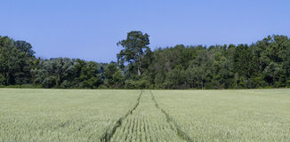Wheat Field with Tractor Tracks Royalty Free Stock Photo