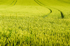Wheat field with tractor tracks Royalty Free Stock Photography