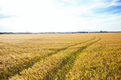 Wheat field with tractor tracks under bright sky Stock Photos