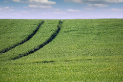 Wheat field with tractor trail and blue sky Stock Image