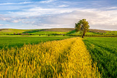 Wheat Field with a Tree Royalty Free Stock Image
