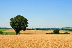 Wheat field and tree Stock Photos