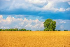wheat field with tree, concept of harvesting Royalty Free Stock Image