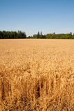Wheat Field and Trees Stock Photography