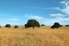 Wheat field and trees Royalty Free Stock Image