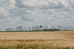 Wheat Field. With trees Royalty Free Stock Photography