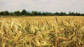 Wheat field with trees and mountains on the background blown by the mild wind - wheat in focus stock footage
