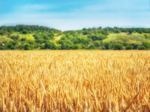 Wheat field and trees Stock Image