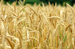 Wheat Field Turning Ripe Stock Photography