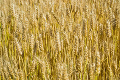Wheat field in Tuscany Stock Photography