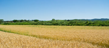 Wheat field in Tuscany Royalty Free Stock Photos