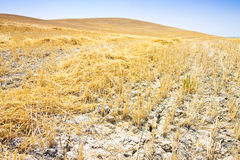 Wheat field in Tuscany countryside Italy Royalty Free Stock Images