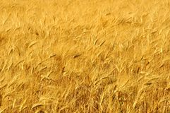 Wheat field in Tuscany, Italy Stock Photos