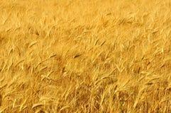 Wheat field in Tuscany, Italy stock photos