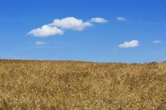 Wheat field, Tuscany, Italy Royalty Free Stock Photo