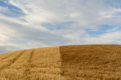 A wheat field of two different colors. In summer. Pienza, Tuscany, Italy stock image