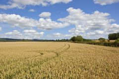 Wheat field with tyre tracks Stock Images