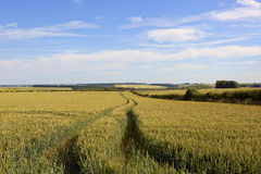 Wheat field with tyre tracks Royalty Free Stock Photos