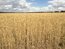 Wheat field in Ukraine Royalty Free Stock Photos