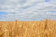 Wheat Field Under Blue Cloudy Sky Stock Images