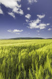 Wheat field under a blue cloudy sky. And mountain range on the horizon Stock Photography