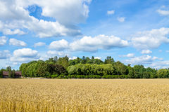 Wheat field under the blue cloudy sky Royalty Free Stock Images