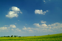 Wheat field under a blue sky. With white clouds Stock Photos