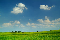 Wheat field under a blue sky. With white clouds Royalty Free Stock Photo