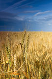 Wheat field under blue sky. Stock Image