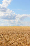 Wheat field under blue sky Stock Image