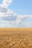 Wheat field under blue sky Stock Image