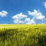 Wheat field under blue sky Royalty Free Stock Photography