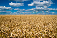 Wheat field. Under the blue sky with beautiful clouds royalty free stock photo
