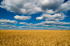 Wheat field. Under the blue sky with beautiful clouds stock photography