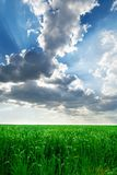 Wheat field under blue sky with clouds Royalty Free Stock Photos