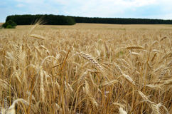Wheat field under blue sky Stock Images