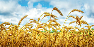 Wheat field under blue sky Royalty Free Stock Image