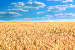 Wheat field under the blue sky Royalty Free Stock Photography
