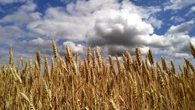 Wheat Field under blue sky in sunny summer day. Golden wheat field. Blowing by the wind. Nature landscape. Peaceful scene stock video