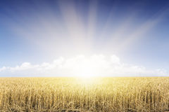 Wheat field under blue sky, sunset. Stock Photo