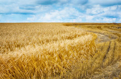 Wheat field under clouds. Stock Photography