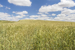 Wheat field under a cloudy blue sky Royalty Free Stock Photo