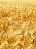 Wheat field under light. A beautiful yellow wheat field background with plenty of light royalty free stock photos