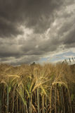 Wheat field under menacing sky Stock Photos