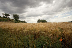 Wheat field under menacing sky Royalty Free Stock Photo