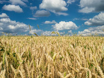 Wheat field under a partly cloudy sky Royalty Free Stock Images