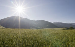 Wheat field  under the sun Royalty Free Stock Photos