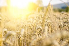 wheat field under the sun, agriculture, natural background, grains, bread royalty free stock photography