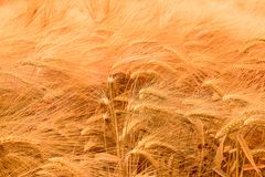 Wheat field under the sun royalty free stock photos