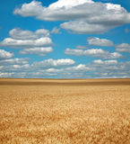 Wheat field under the white clouds on blue sky. Nature background Stock Images